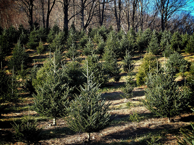 weltladen bonn e v wissen sie woher ihr weihnachtsbaum. Black Bedroom Furniture Sets. Home Design Ideas